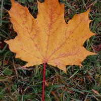 Jesienny liść klonowy