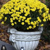 Żółte chryzantemy w ozdobnym gazonie