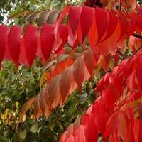 Octowiec jesienny