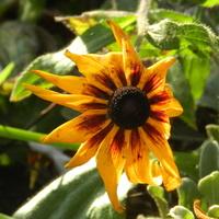Ostatni kwiat rudbekii