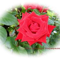 Róża dla Wioli