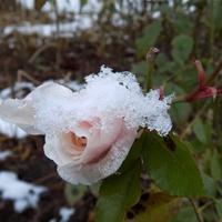 Róża z bitą śmietaną :)