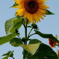 Słonecznik (zdj. archiwalne).
