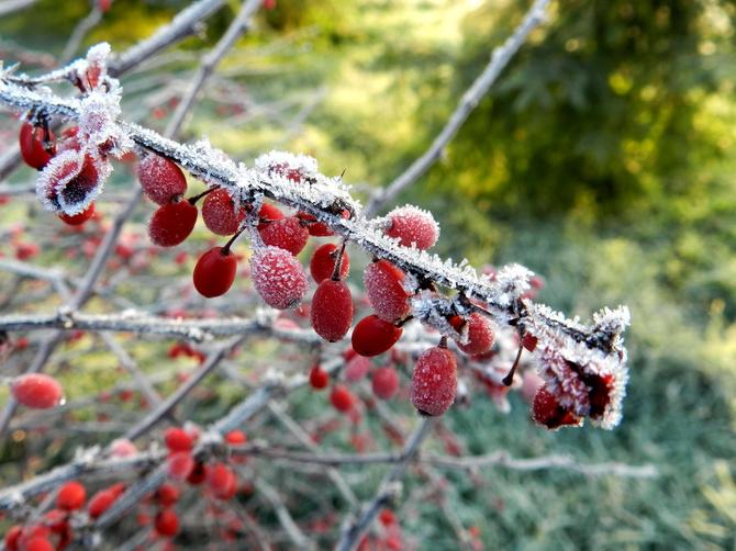Berberys, oszronione owoce