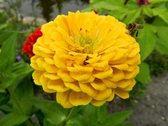 C - Cynia żółta