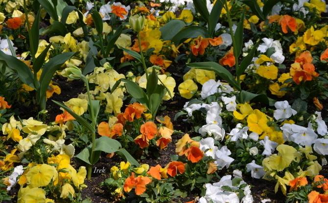 F - fiołki ogrodowe w różnych kolorach
