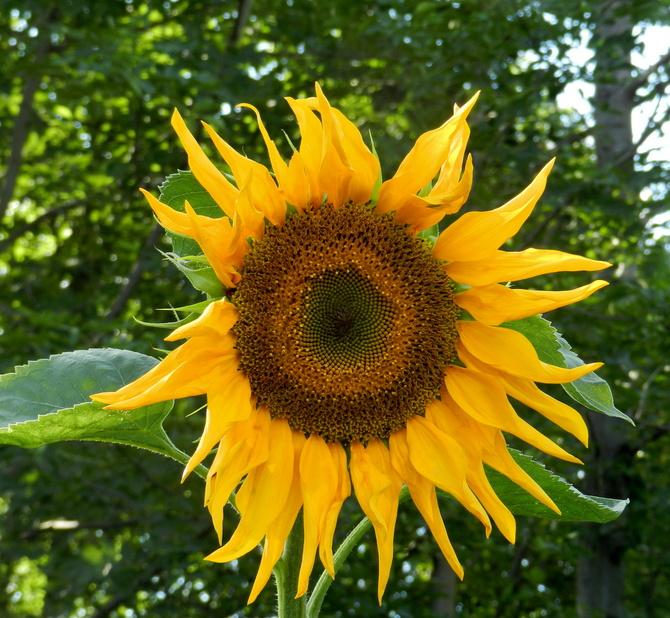 Helianthus-Słonecznik