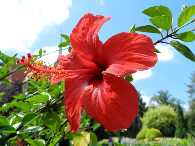 Hibiskus-Róża chińska