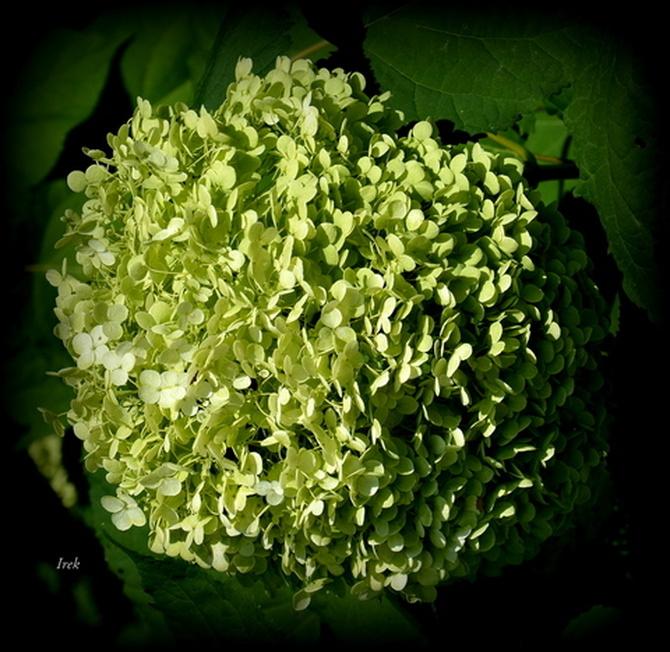 hortensja zielona (niedojrzała)
