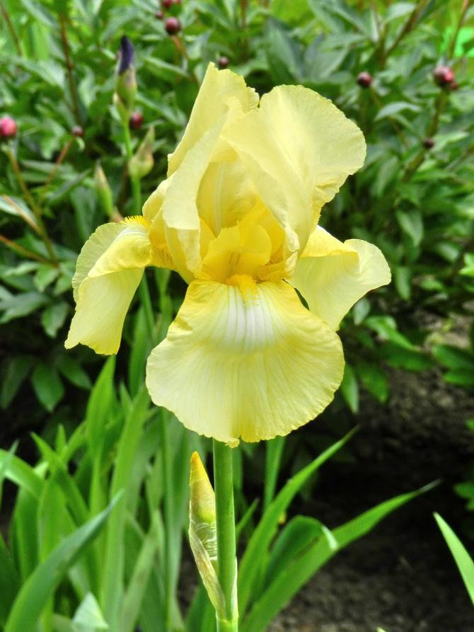 I- Irys żółty