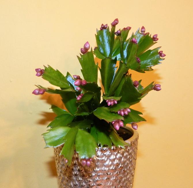 Kaktus Bożonarodzeniowy