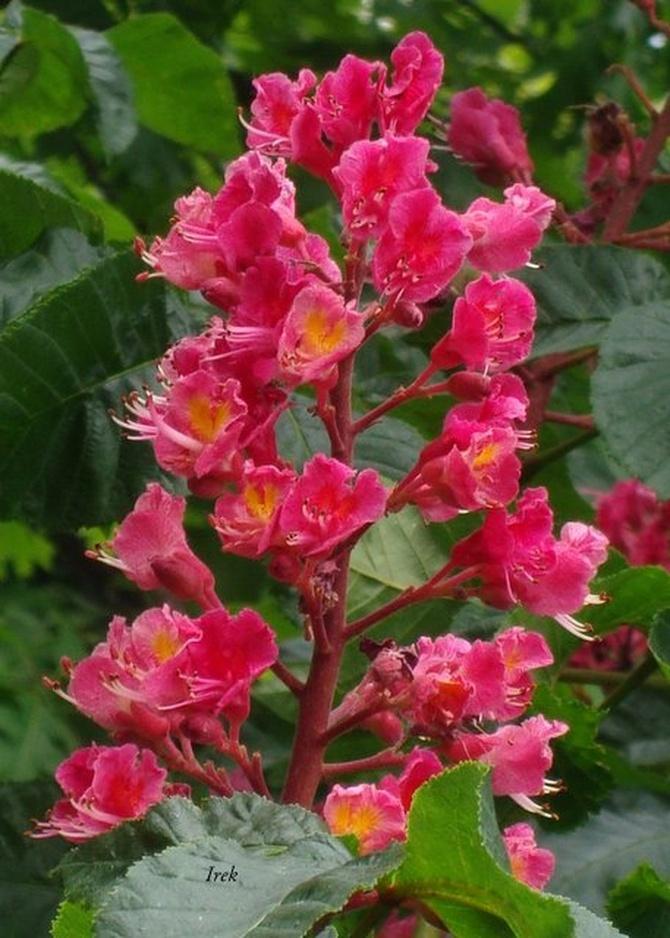 K - Kasztanowiec czerwony, kwiatostan