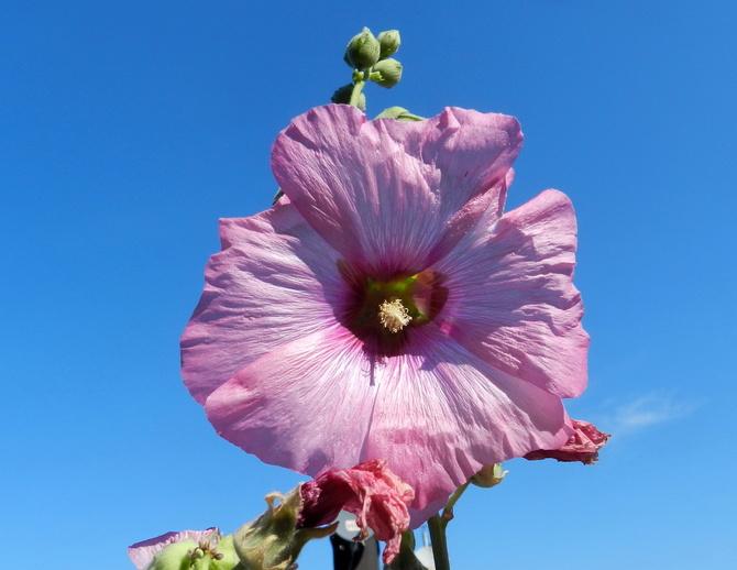 M- Malwa różowa