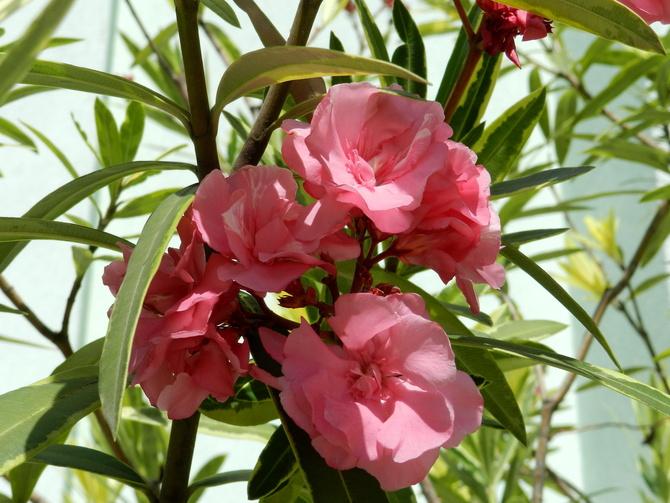 O- Oleander pospolity