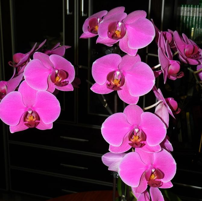 O-Orchidea