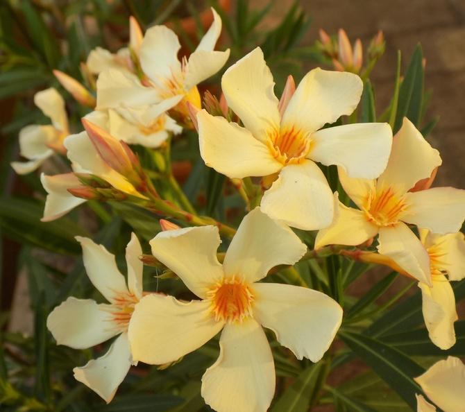 Oleander jeszcze raz :)