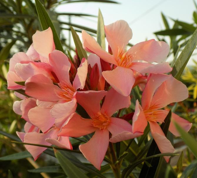Oleander :)
