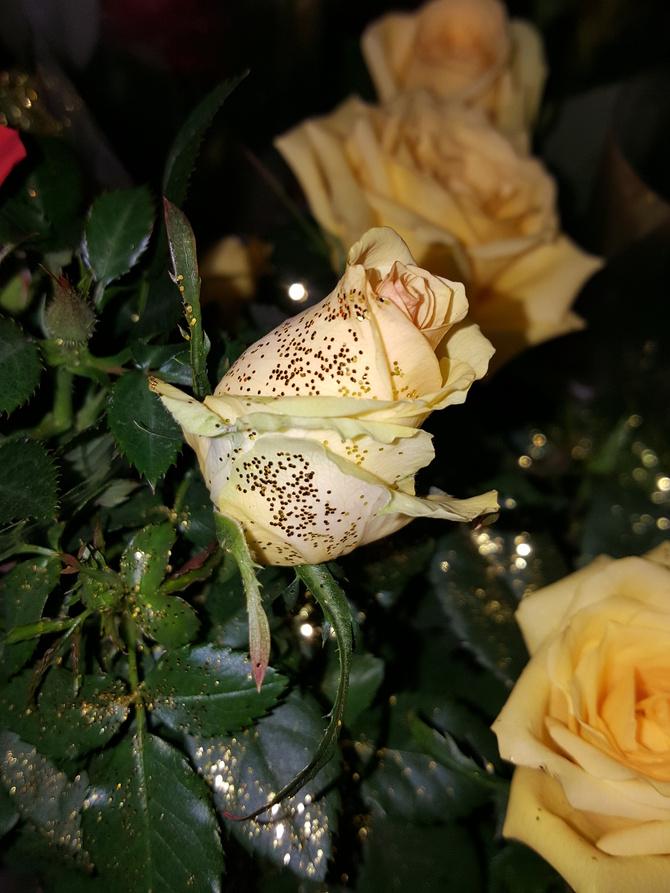 Róża brokatowa...