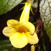 Achimenes Yellow Queen