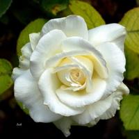 biała róża (bez łodygi)