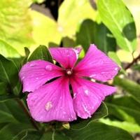 Barwinek purpurowy w zbliżeniu .