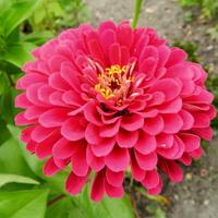 C - Cynia różowa