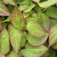 Epimedium na zielony liść.