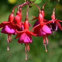 fuksja, kwiat