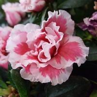 Różowy kwiatek...