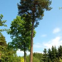 I - Iglaste drzewa
