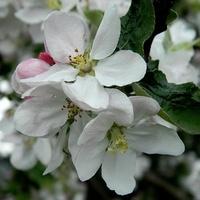 J jak kwiaty Jabłoni:)