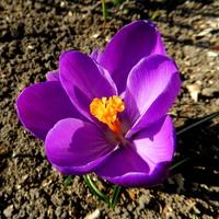 K- Krokus fioletowy