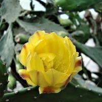 Kwitnąca opuncja figowa .