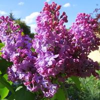 L- Lilak, zapach maja, a może kwietnia :)