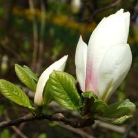M - magnolia biała