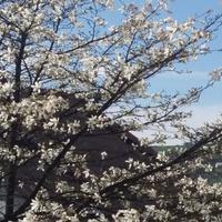Magnolia gwiaździsta.
