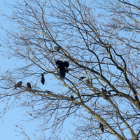 Przyleciały wrony