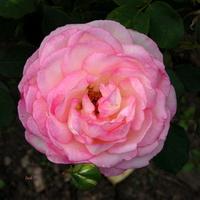 róża zarumieniona