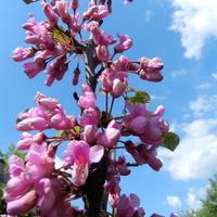W różowym kolorze,judaszowiec