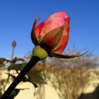 Wigilijna różyczka :)