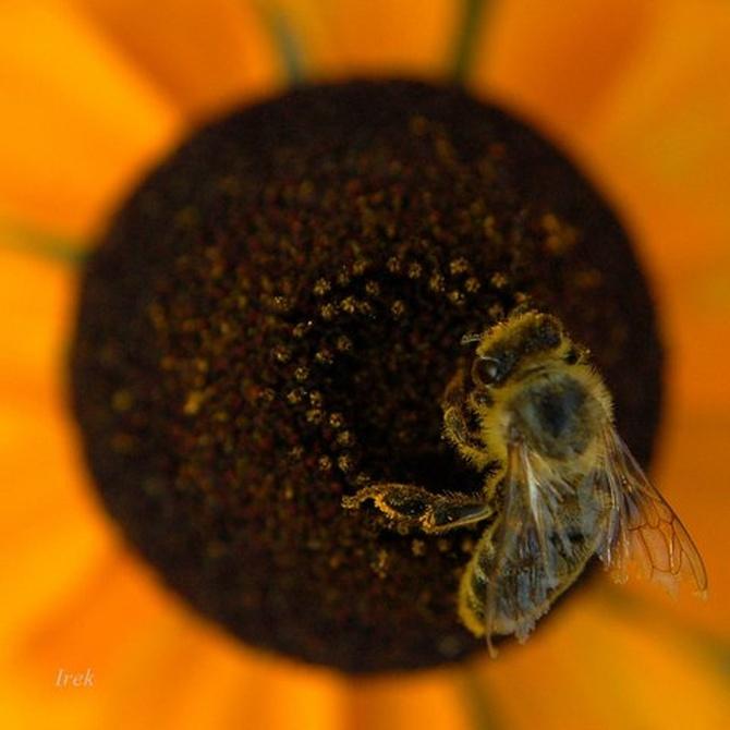 Dobry posiłek dla pszczoły. Smacznego.