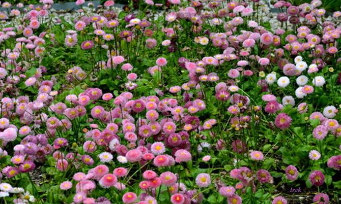 drobne, różowe kwiatki