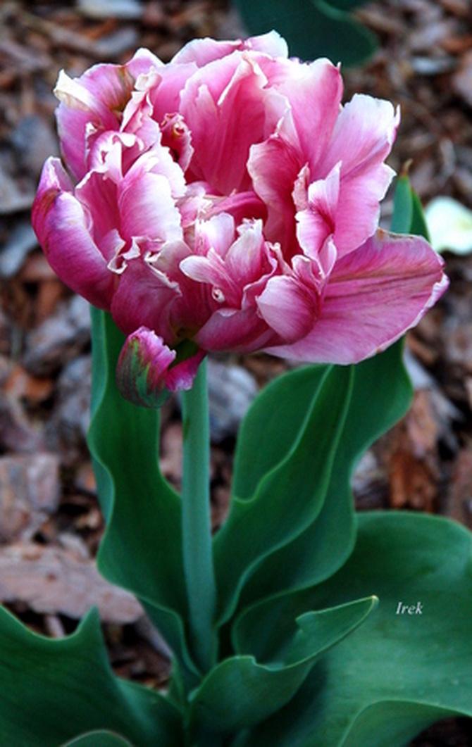 gęsty tulipan
