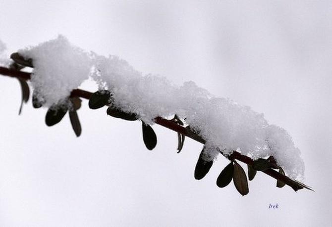 Gałązka z owocnikami i śniegiem