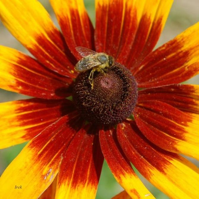 Jeżówka i owad