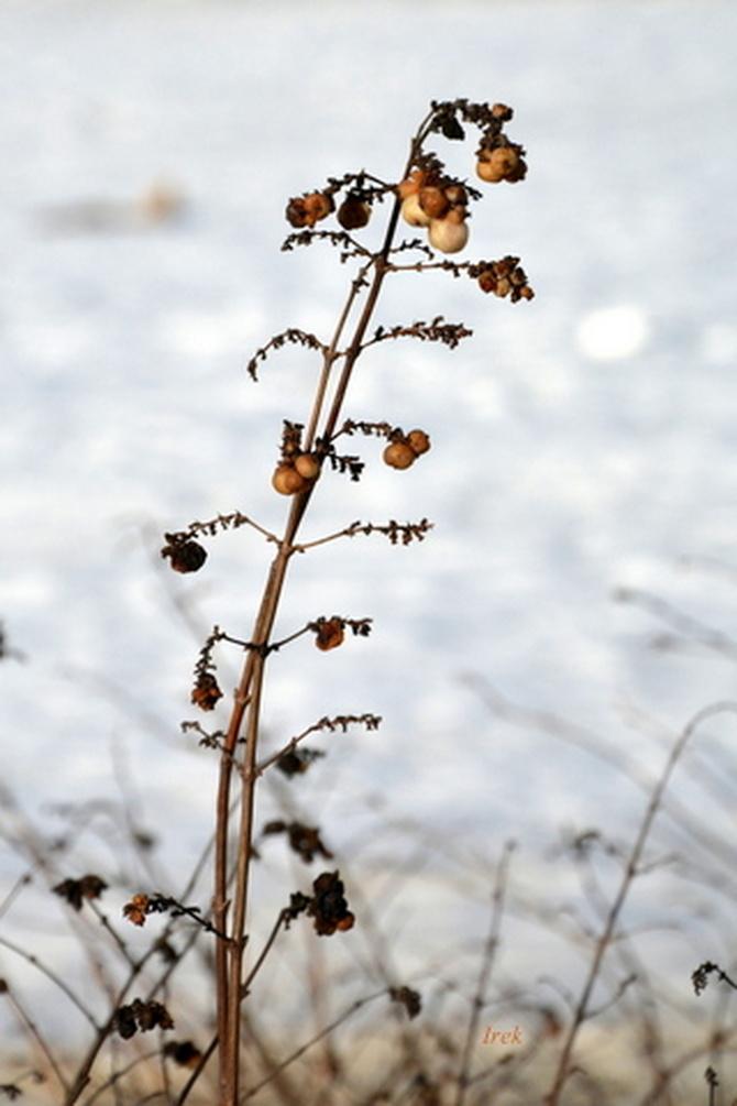 kwiatek zimowy