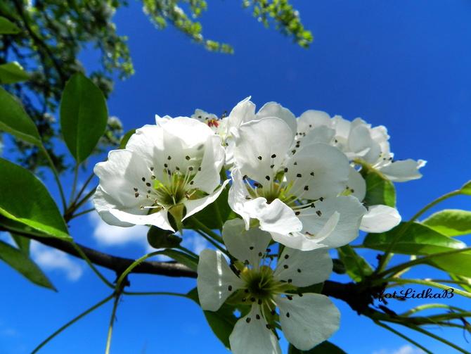 Kwiaty gruszy i błękit nieba