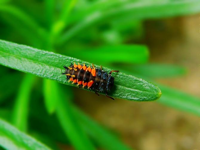 larwa biedronki