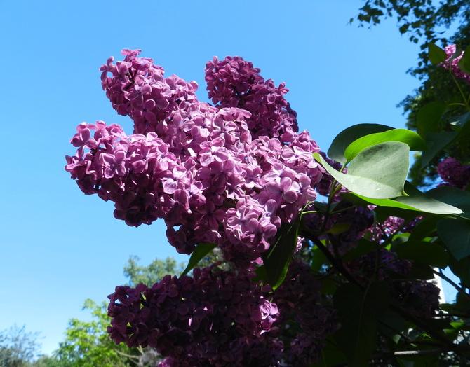 Lilak i błękit nieba