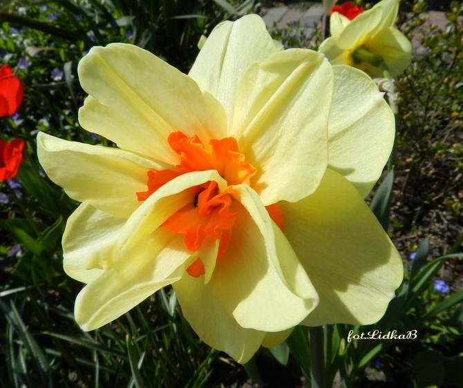 Narcyz,wiosenny kwiat